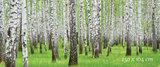berkenboom poster bos
