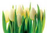 Witte Tulpen fotobehang