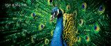 blauwe pauw poster behang