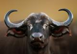 Buffel fotobehang