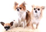 Chihuahua fotobehang