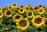 Zonnebloemen fotobehang