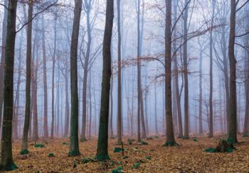 Bos fotobehang Misty Wood