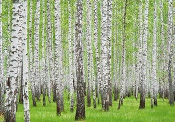 Berkenbomen fotobehang