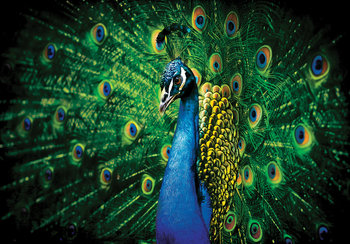 Blauwe Pauw fotobehang