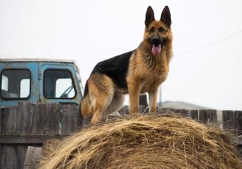 Duitse herder fotobehang