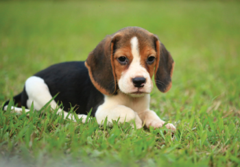 Beagle fotobehang