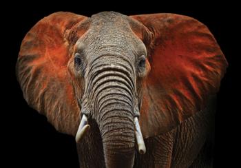 Afrikaanse olifant fotobehang