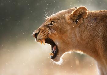 Brullende leeuwin fotobehang