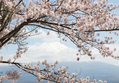 Kersenbloesem fotobehang Mount Fuji