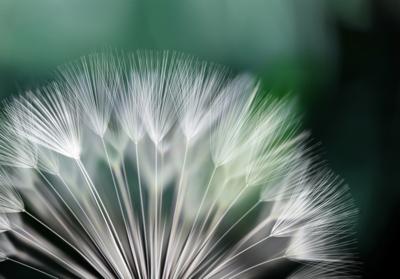 Dandelion fotobehang