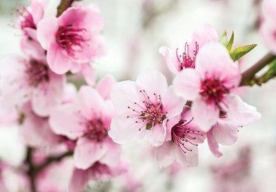 Kersenbloesem fotobehang bloemen